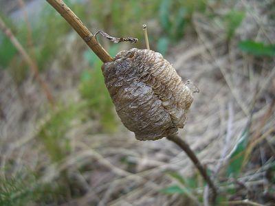 カマキリの巣.jpg