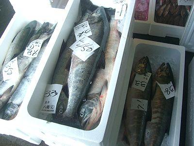 山北で獲れた鮭.jpg