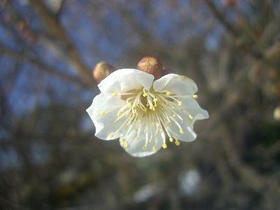 梅、開花!